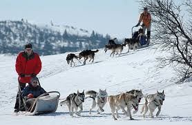 canada chien de traineau
